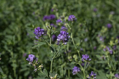 Flowering Alfalfa Royalty Free Stock Photo