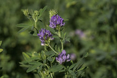 Flowering Alfalfa Royalty Free Stock Photos