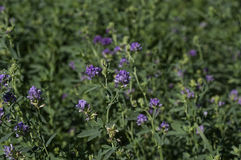 Flowering Alfalfa Stock Images