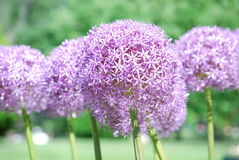 Flowering Allium Bulbs in Bloom Stock Images