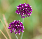 Flowering Allium on a green background. Allium, two lilac flower blooming in the garden on a green background stock photo