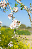 Flowering almond Stock Photos