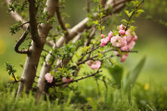 Flowering Almond. (Prunus Triloba) Closeup Stock Image