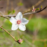 Flowering almond Stock Photography