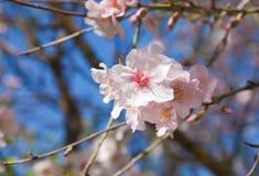 Flowering almond Stock Photo