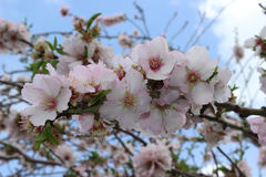 Flowering almond Royalty Free Stock Photo