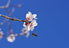 Flowering almond and a bee Stock Photography