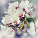 Flowering almond Royalty Free Stock Image