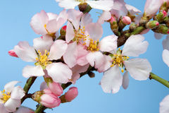 Flowering almond branch Royalty Free Stock Images