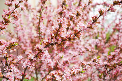 Flowering almond Royalty Free Stock Images