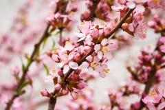 Flowering almond Royalty Free Stock Photo