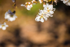 Flowering almond branches, close-up. Blurred background. Stock Photo