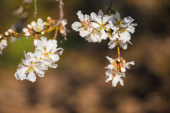Flowering almond branches, close-up. Blurred background. Stock Image