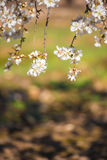 Flowering almond branches, close-up. Vertical. Blurred background. Royalty Free Stock Photos