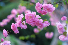 Flowering almond Stock Photo