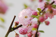 Flowering Almond Closeup Royalty Free Stock Photography