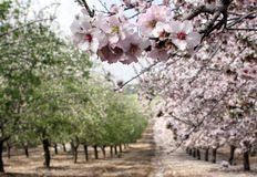 Flowering almond garden Royalty Free Stock Photography