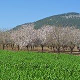Flowering Almond Garden Royalty Free Stock Images