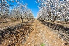 Flowering Almond Garden Royalty Free Stock Photos