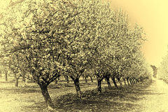 Flowering Almond Garden Stock Images