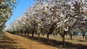 Flowering Almond Garden Stock Photos