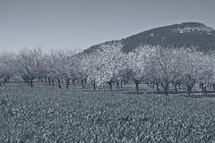 Flowering Almond Garden Royalty Free Stock Image