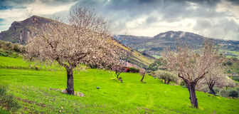 Flowering almond garden in Sicily Royalty Free Stock Images