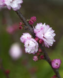 Flowering Almond Royalty Free Stock Photography