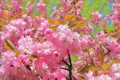 Flowering almond ornamental tree. Royalty Free Stock Photo