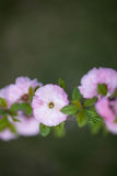 Flowering Almond. Pink flower on green Stock Image