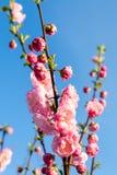Flowering almond. Prunus triloba, sometimes called flowering almond Royalty Free Stock Images