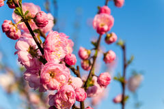 Flowering almond. Prunus triloba, sometimes called flowering almond Stock Images