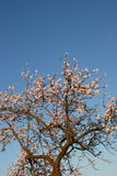 Flowering almond tree. Pink flowers on almond tree against a blue sky in the spring in Germany Royalty Free Stock Photos
