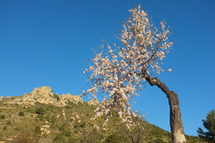Flowering almond tree. Solitary almond tree in rocky landscape Stock Photo