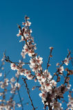 Flowering almond tree. Against blue sky background Royalty Free Stock Photography