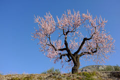 Flowering almond tree. Almond tree against the background of blue sky Royalty Free Stock Image