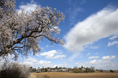 Flowering almond tree. Almond Blossom in a rural scene. Valladolid, Spain Royalty Free Stock Images