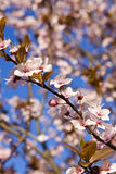 Flowering almond tree. Spring. blue sky. Flowering almond tree Stock Photography