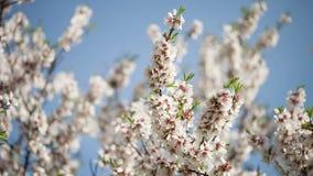 Flowering almond tree stock video footage