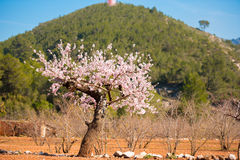 Flowering almond tree on the background of the mountain. Flowering almond tree on the background of the mountain Royalty Free Stock Image