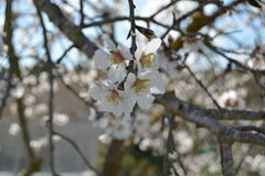 Flowering almond tree. Beautiful white almond tree flowers Stock Images