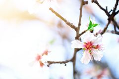 Flowering almond tree. Blooming almond flower. Blossom spring day. Copy space.  Royalty Free Stock Image