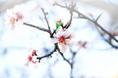 Flowering almond tree. Blooming almond flower. Blossom spring day. Copy space.  Royalty Free Stock Photography