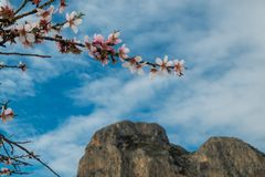 Almond tree blossom. Flowering almond tree branch against blue sky, Costa Blanca, Alicante, Spain Stock Images
