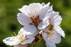 Flowering almond tree branch close. Springtime background with beautiful white almond flowers on blossoming tree Royalty Free Stock Images