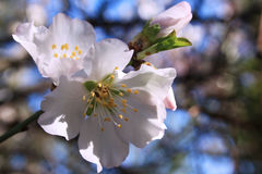 Flowering almond tree. Close up shot of blossom almond tree royalty free stock photo