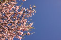 Flowering of a almond tree flower. Against blue sky stock photography