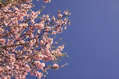 Flowering of a almond tree flower. Against blue sky Royalty Free Stock Image