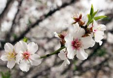 Flowering almond tree. Spring flowering almond tree in the garden Stock Images