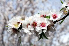 Flowering almond tree. Spring flowering almond tree in the garden Royalty Free Stock Images